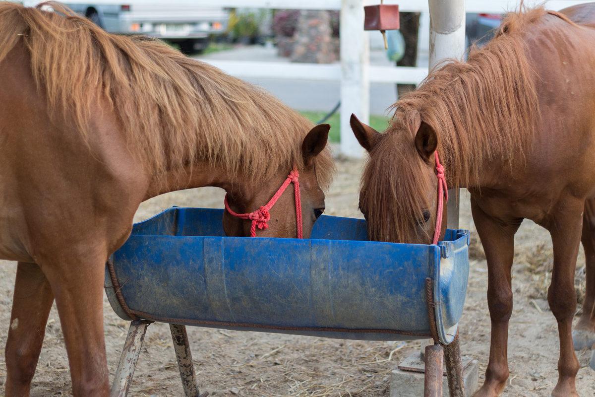 Zeckenbiss bei Pferden