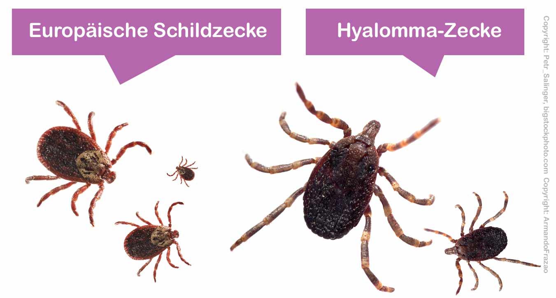Hyalomma-Zecke