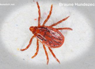 Braune Hundezecke (Rhipicephalus sanguineus)