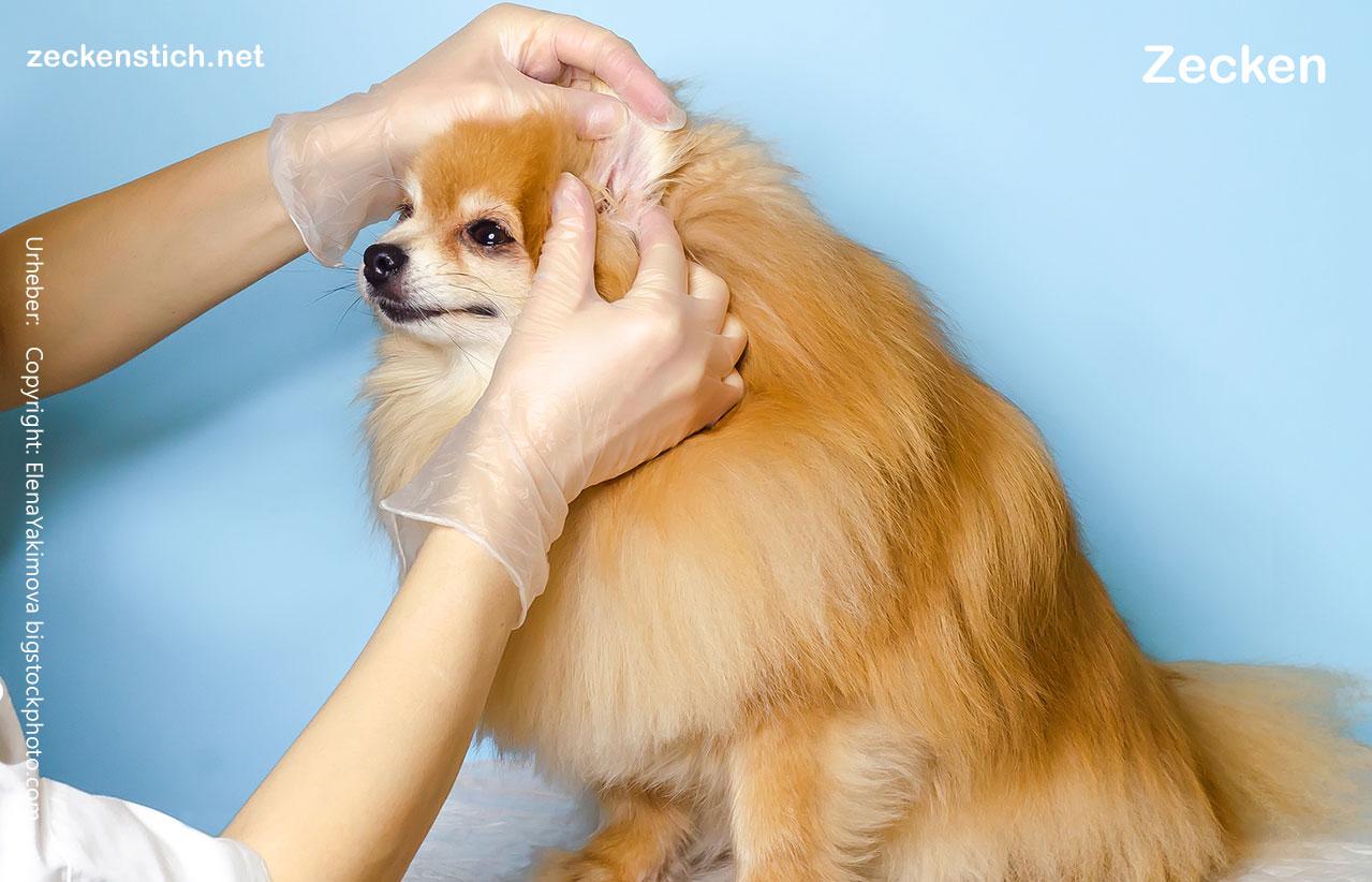 Zecken beim Hund entfernen